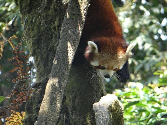 Padmaja Naidu Himalayan Zoological Park: Red Panda