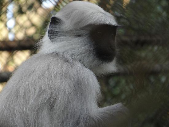 Padmaja Naidu Himalayan Zoological Park: Monkey
