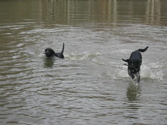 Dogs having fun in the lake at Wimbledon Common