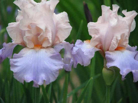 English Country Garden B&B: One of the irises in the iris bed