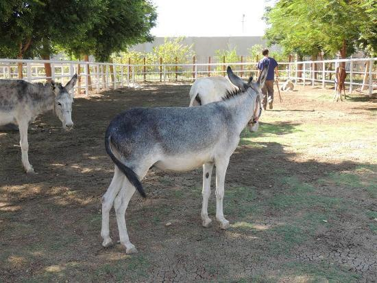 ‪‪ACE- Animal Care in Egypt‬: Donkeys at ACE