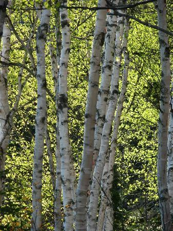 English Country Garden B&B: Our beautuful silver birches