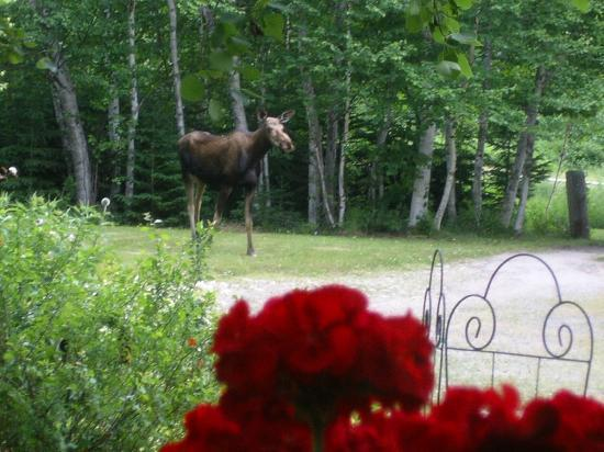English Country Garden B&B: A moose taking a walk in the gardens !