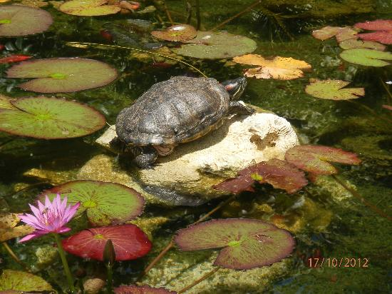 Crown Beach Resort & Spa: The resident turtle lazing on the rock in the pond out the front of reception