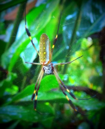 El Tucan Jungle Lodge: local spider