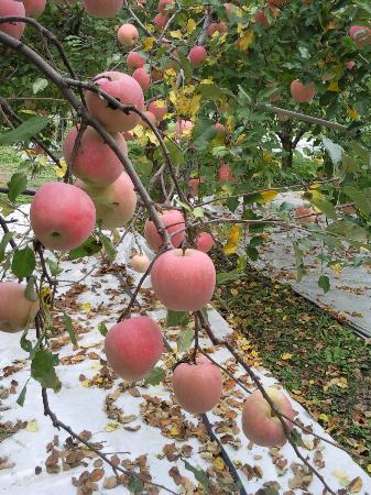 Minami Alps, Giappone: apple season