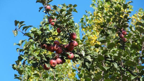 Cachemira, India: Apple Garden, Gulmarg