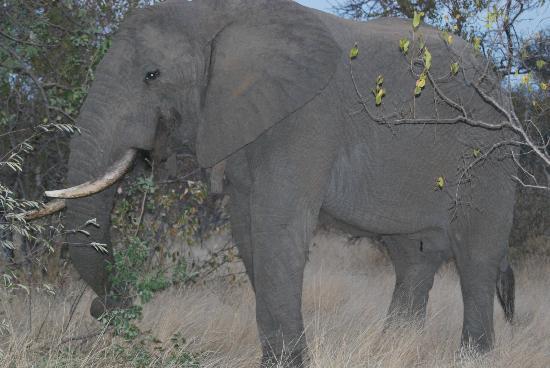 Naledi Bushcamp and Enkoveni Camp: bull elephantt