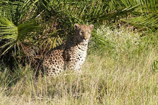 Pom Pom Camp: Leopard