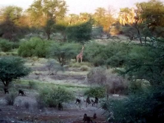 Samburu Simba Lodge: On the way to have breakfast we see a giraffe and some baboons