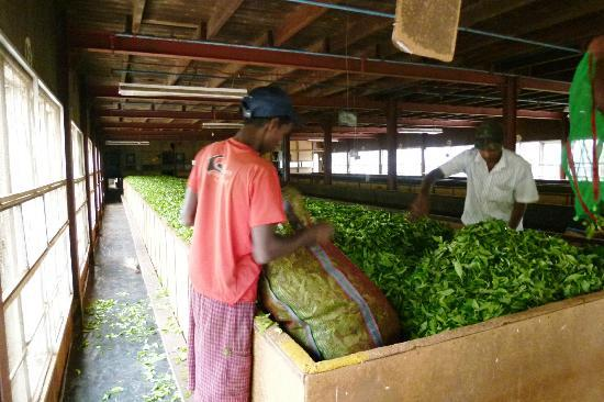 Ceylon Tea Trails: Rondleiding Theefabriek