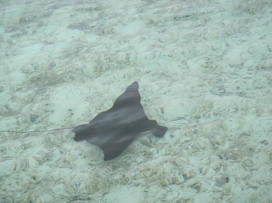 Cinnamon Hakuraa Huraa Maldives: A manta ray in the lagoon
