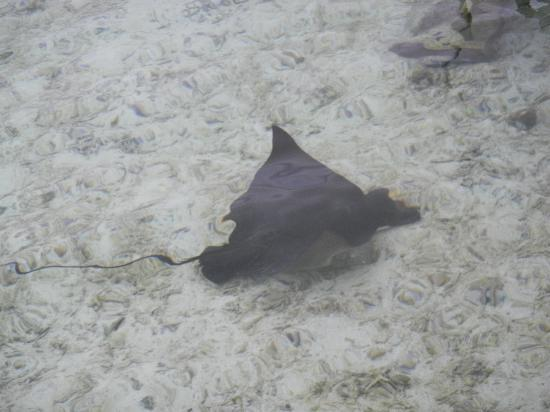 Cinnamon Hakuraa Huraa Maldives: Manta Ray in lagoon
