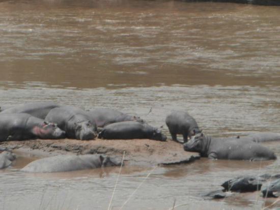 Rekero Camp, Asilia Africa: Hippos