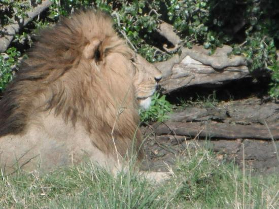 Rekero Camp, Asilia Africa: Marsh Pride Male Lion
