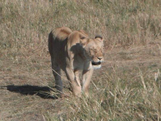 Rekero Camp, Asilia Africa: Lioness