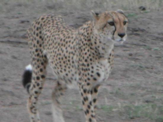 Rekero Camp, Asilia Africa: Cheetah