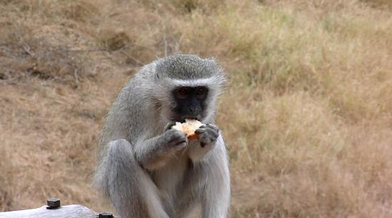 Garonga Safari Camp: Bad monkey. Eating the toast stolen from our breakfast.