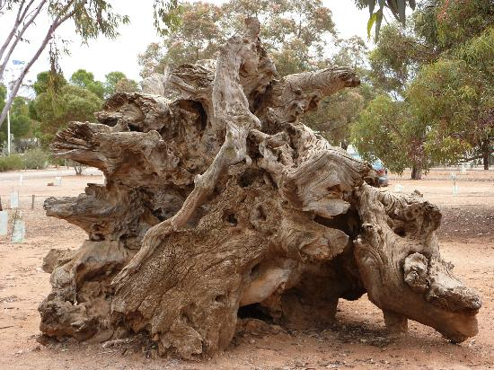 Hawker Caravan Park: Amazing root system on the fallen tree by the Barbecue shelter