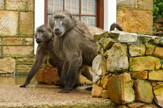 Cape of Good Hope: Baboons Cape Point