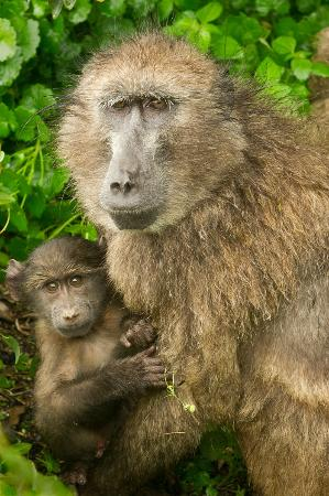 Cape of Good Hope: Mother and baby baboon