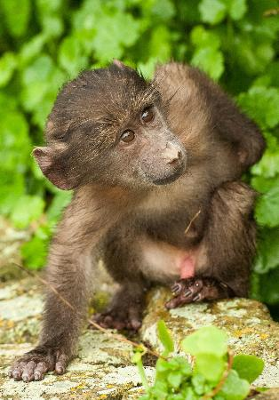 Mыс Доброй надежды: Baby baboon on its own