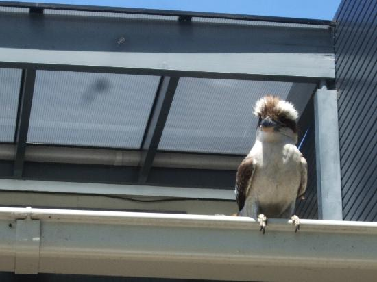 Forsyth Bed & Breakfast: Charlie the Kookaburra visiting the Rozelle room