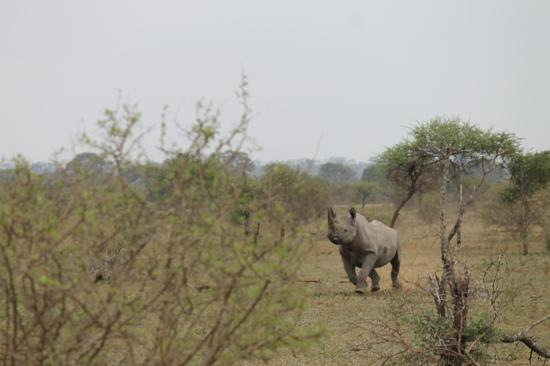 Rhino Walking Safaris at Plains Camp: Schwarzes Hashorn