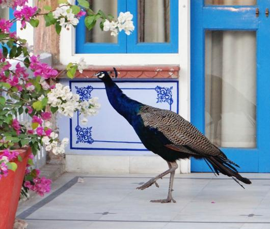 Diggi Palace: Peacock outside room