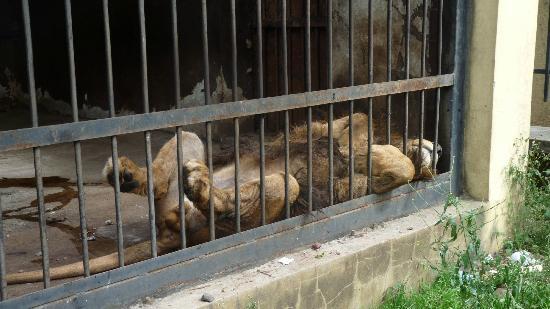 Lion Park: sad lion
