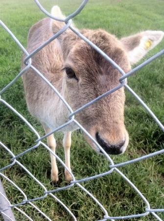 Dusky Ridges - Te Anau farmstay Bed and Breakfast: Phoebe Deer - the sweetest creature in the world.