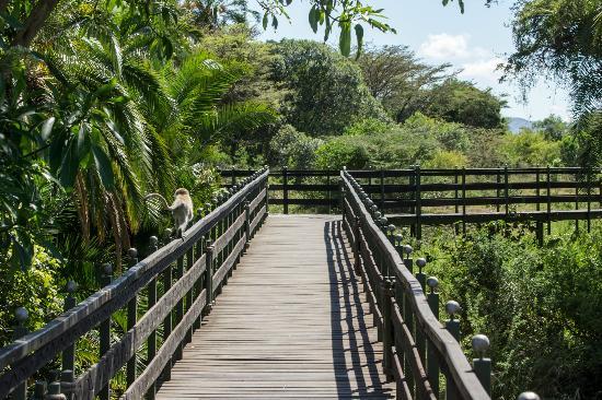 Keekorok Lodge-Sun Africa Hotels: Vervet monkey on one of the walkways around Keekorok
