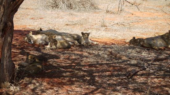 Papillon Lagoon Reef: Lions in Tsavo East