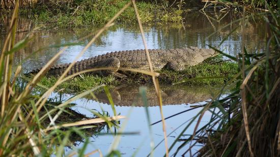 Papillon Lagoon Reef: Crocodile in Tsavo West