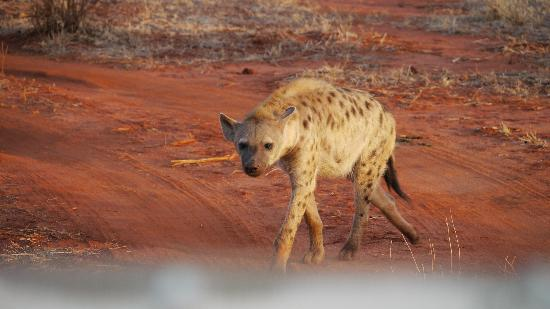 ‪‪Papillon Lagoon Reef‬: Hyena in Tsavo East