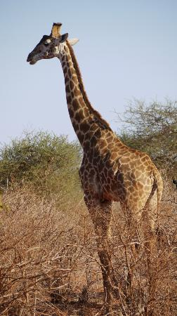 Papillon Lagoon Reef: Giraffe in Tsavo East