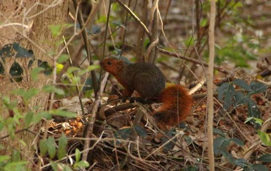 Fumba Beach Lodge: red squirrel