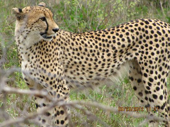 Gomo Gomo Game Lodge: Cheetah