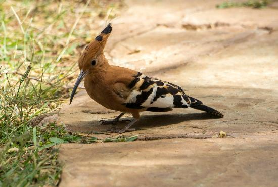 Ol Tukai Lodge: Hoopoe on one of the paths