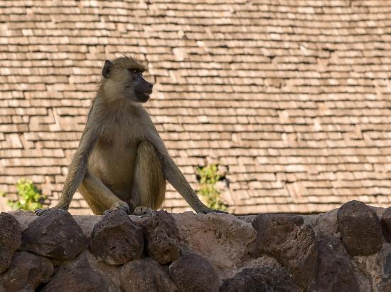 Ol Tukai Lodge: Yellow baboon on a wall in Ol Tukai