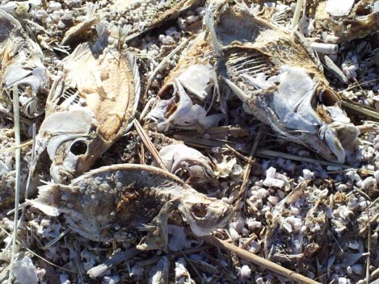 Salton Sea: Fish bodies