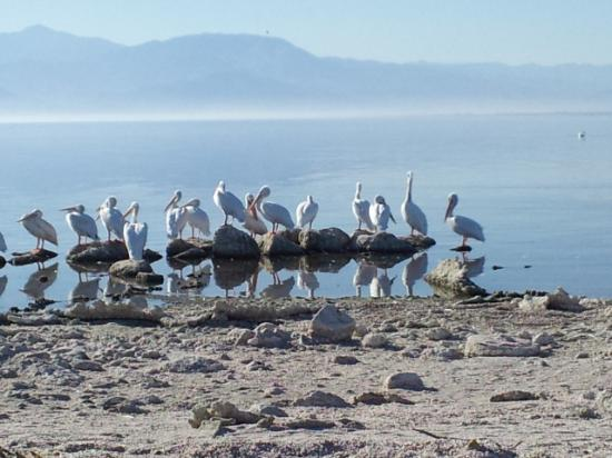 Salton Sea: Pretty birds