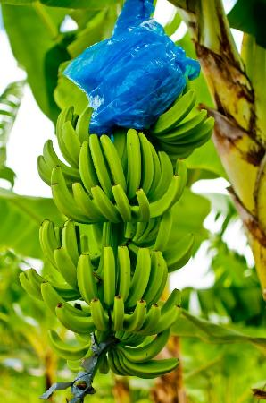 Serenity Vacations and Tours: banana plantation