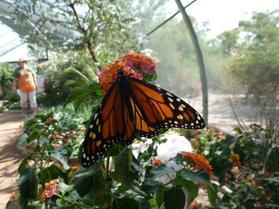 Butterfly in exhibit picture of desert botanical garden for Phoenix butterfly garden