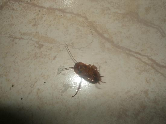 Veronica Hotel: Another Dead Cockroach !