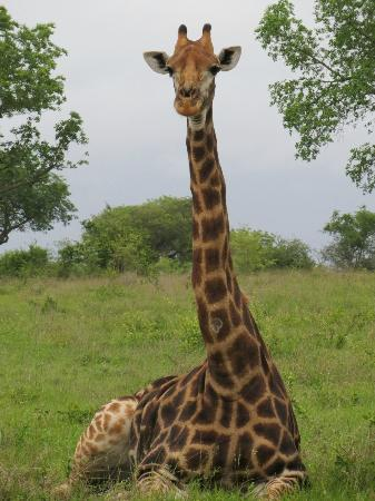 Londolozi Varty Camp: Lazy giraffe