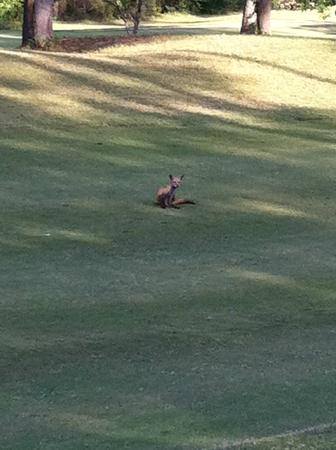 Cypress Bend Resort, BW Premier Collection : This little fox was just chillin' in the middle of the fairway...