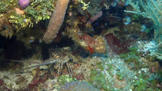 Reef House Resort: Lot's of Lobsters