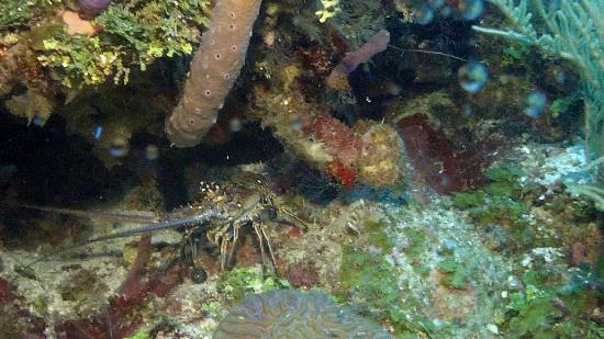 Reef House Resort: More Lobsters