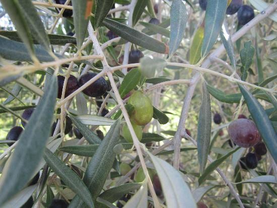 I Coppi: More olives